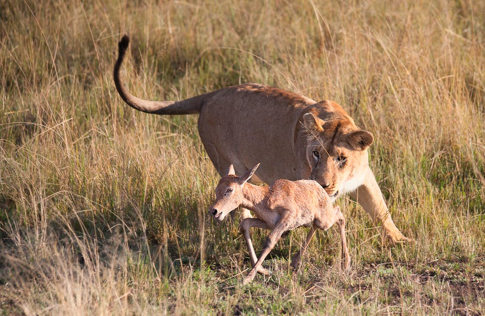 lion hunting Best Places to See Lions