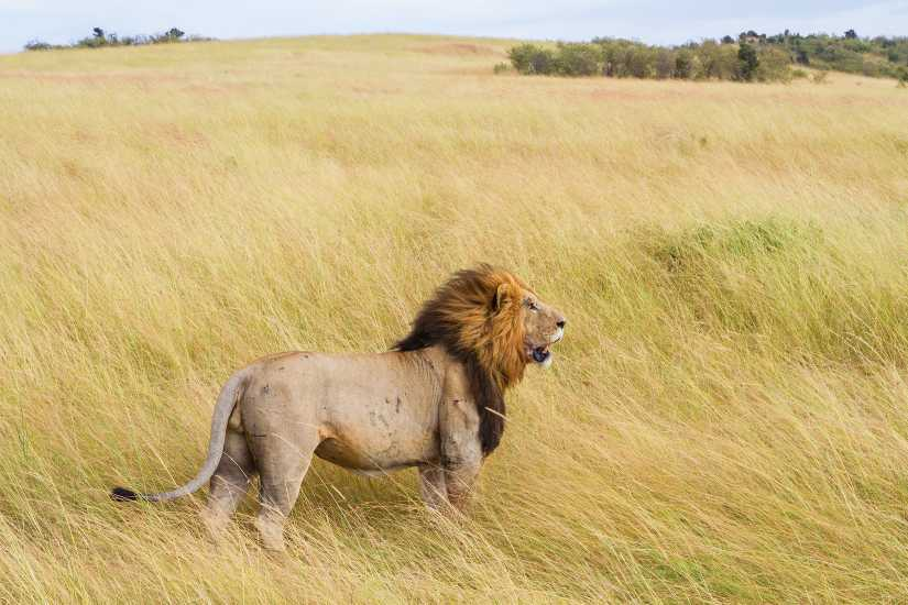 male lion serengeti park  Best Places to See Lions