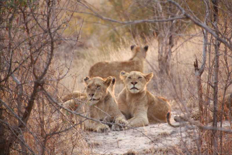 lion pride  Best Places to See Lions
