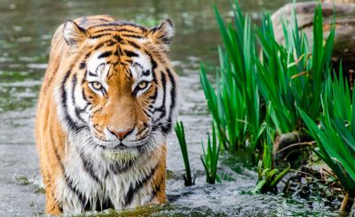 a tiger takes a swim