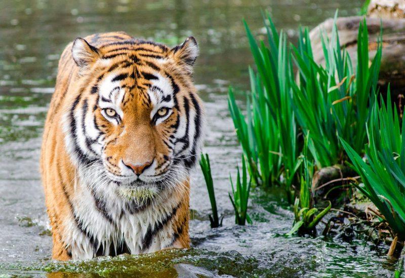 a tiger takes a swim