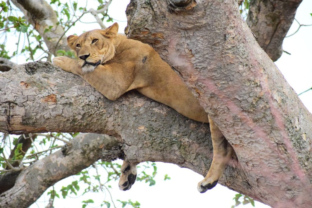 tree lion in uganda