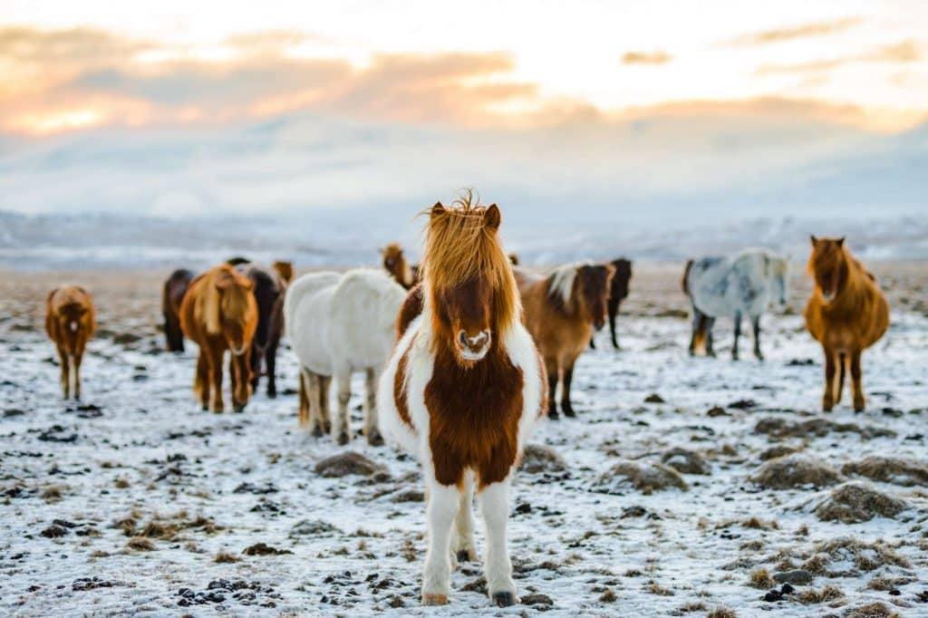 Icelandic horses to ride on your multi-day horseback trek in iceland