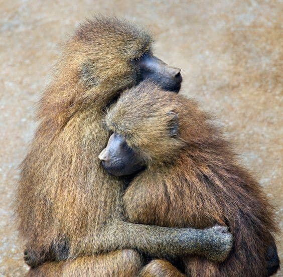 Chacma Baboons embrace
