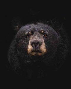 el oso negro agresivo