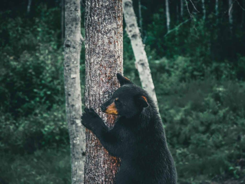 black bear climbing tree