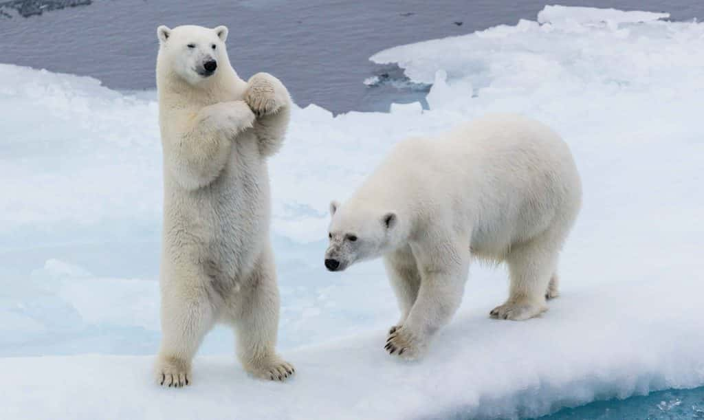 Polar Bears Norway