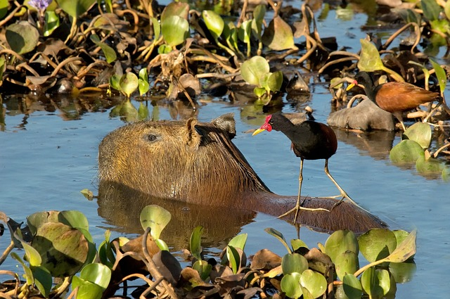 animals of the amazon capybara