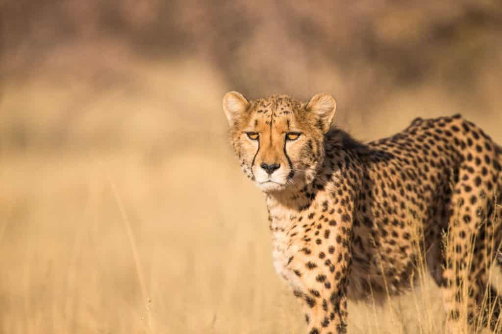 cheetah in wild serengeti encounter