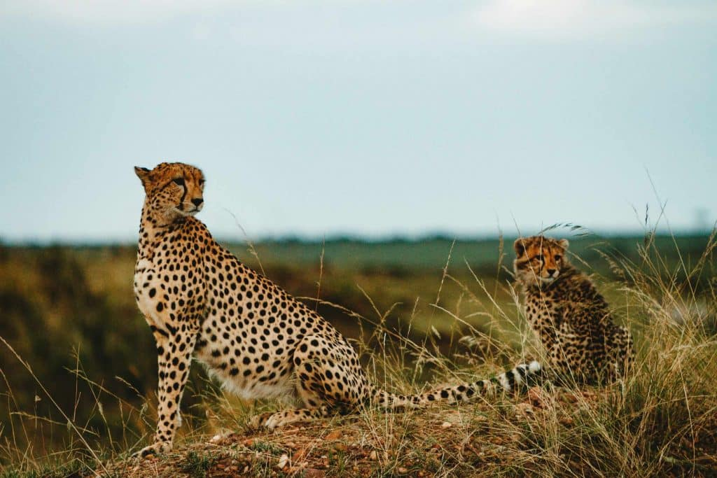 encounter wild cheetahs