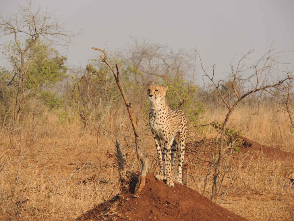 encounter cheetah in the wild guide namibia