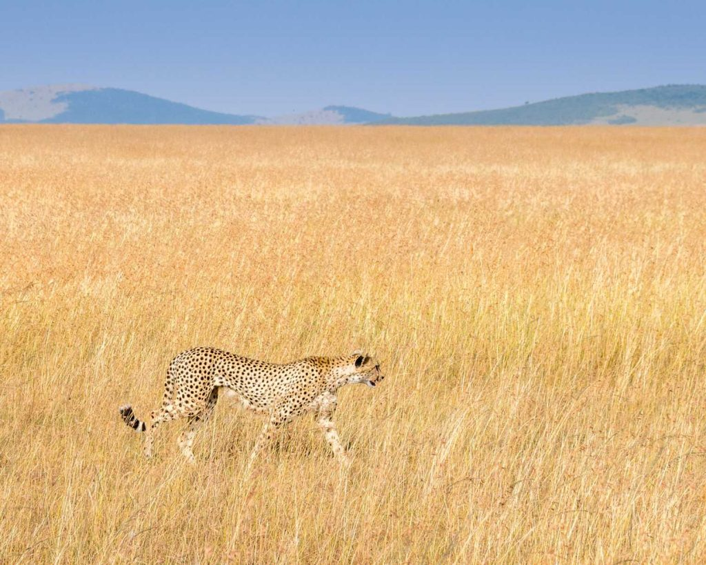 cheetah in wild serengeti