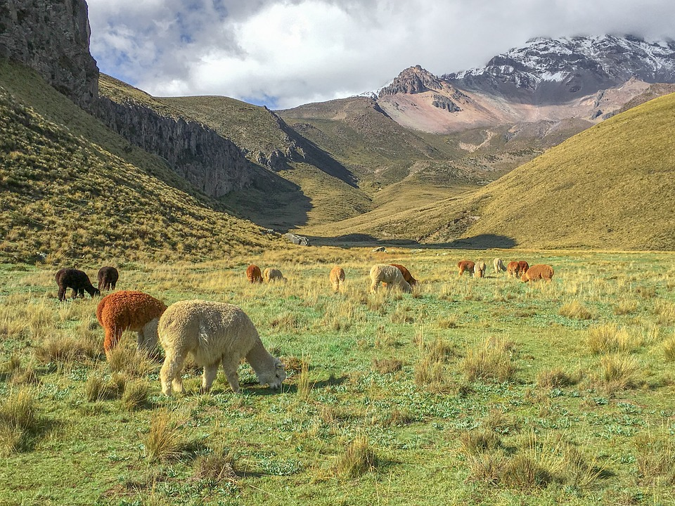Alpacas grazing in Ecuador
