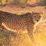 Begegnung mit Geparden in freier Wildbahn