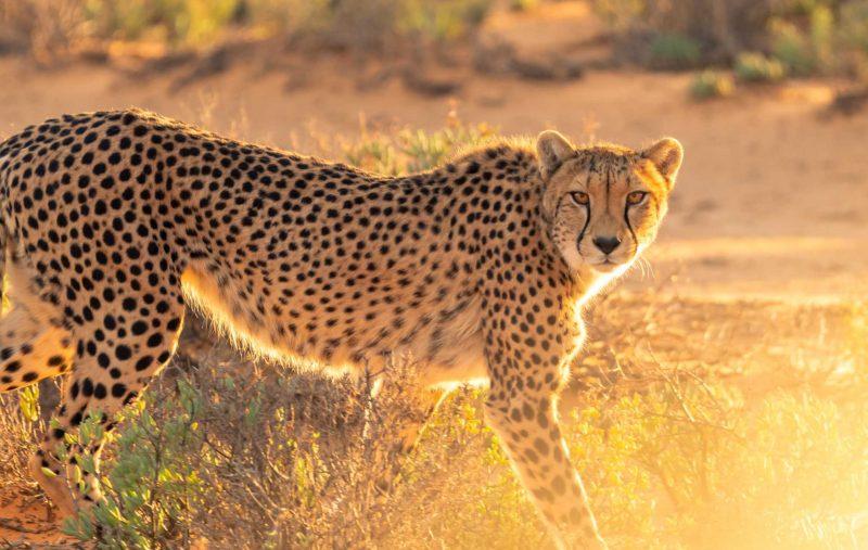 encounter cheetah in wild