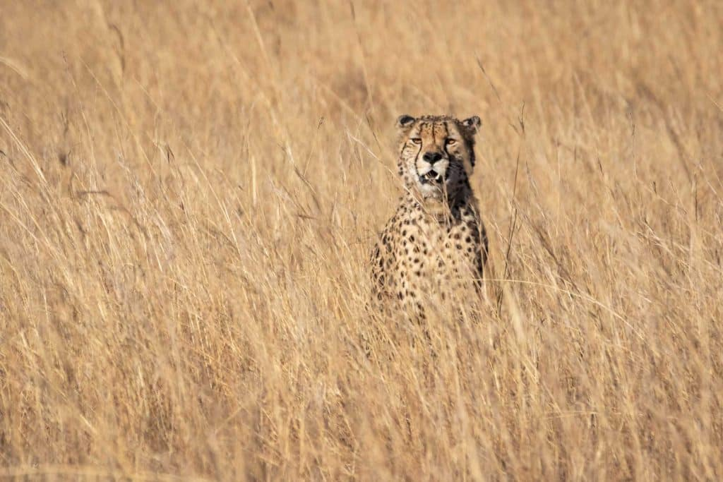 encounter wild cheetahs in africa