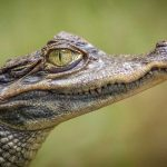 amazon animal caiman