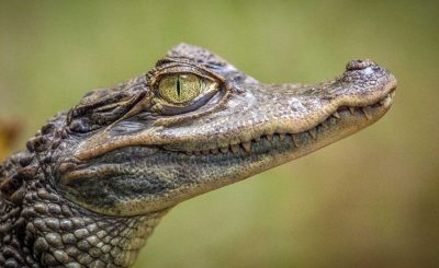 amazon animal caiman