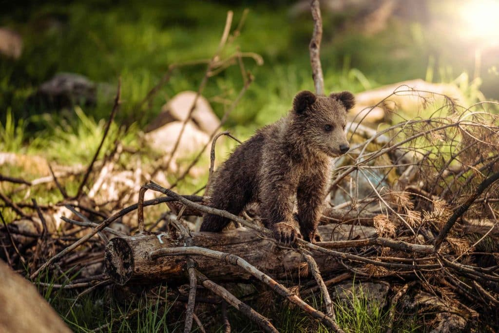 bebé oso marrón