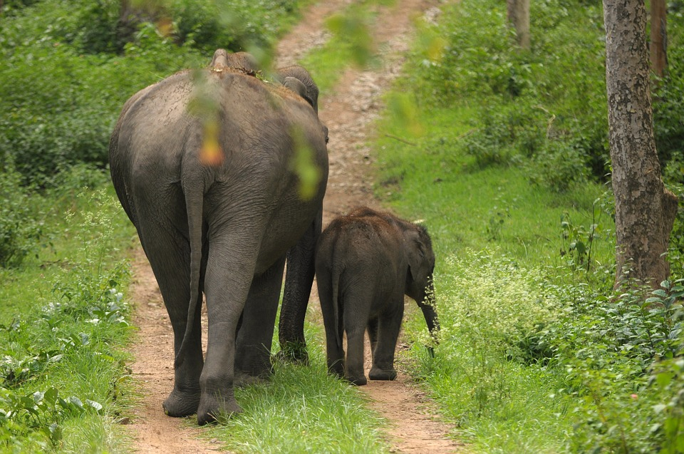 Elephant and calf in India: protected