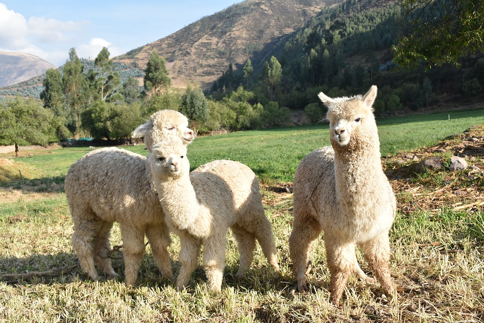 Visit Alpacas in South America