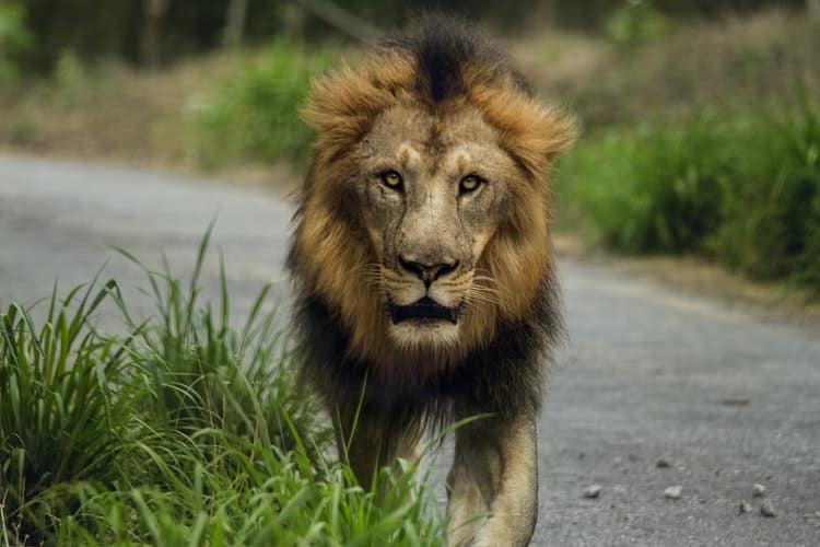 The big 5 of India : Asiatic lion in Gir National park