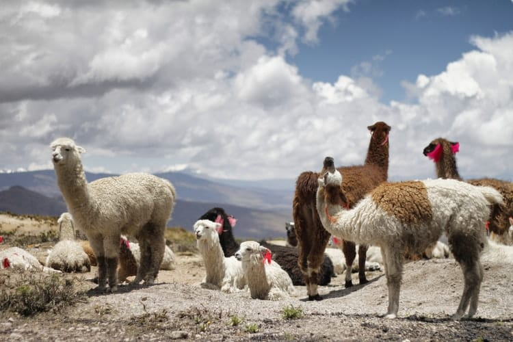 Alpacas and Llamas in Peru