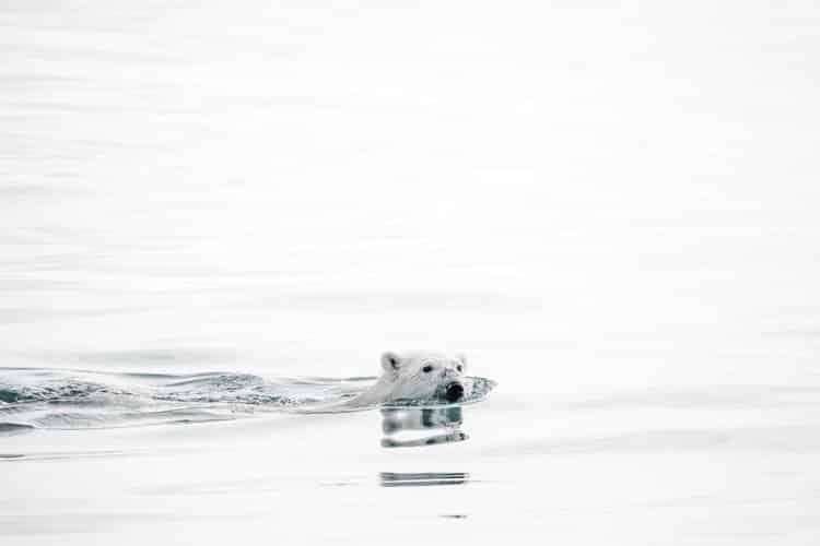 Encuentro con el Oso Polar: Rey del Ártico