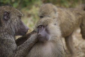 baboons in africa