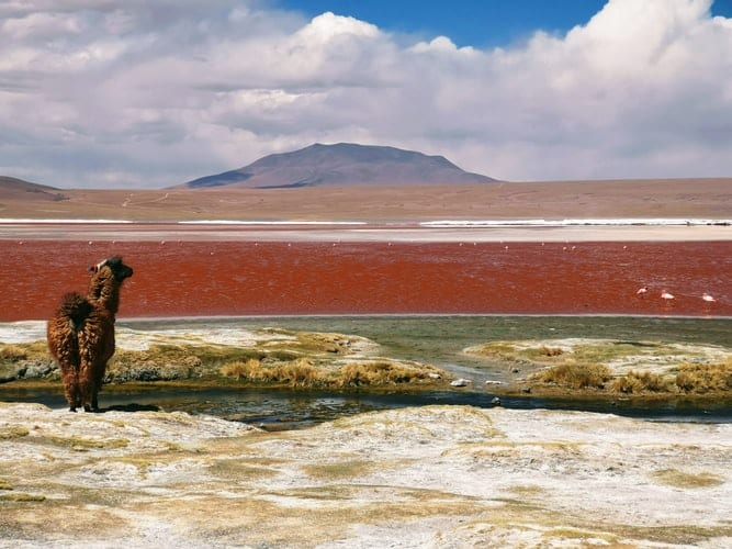 Bolivia landscape and alpaca