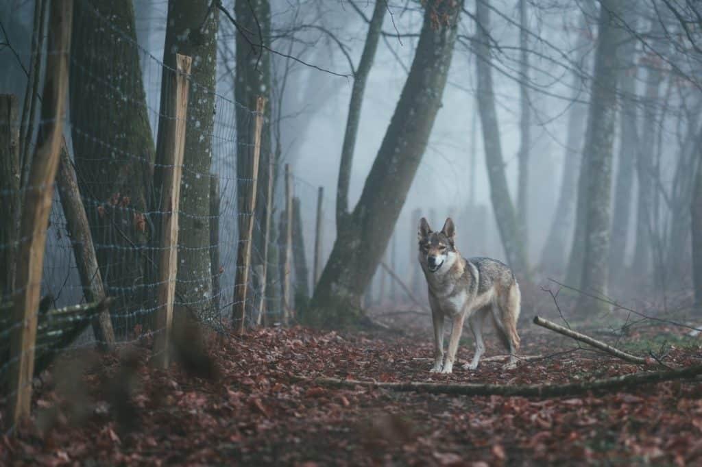 lobo en europa Los 10 mejores encuentros de animales en Europa después de Corona