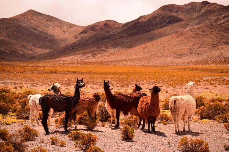 Alpacas and llamas on Argentinian plane