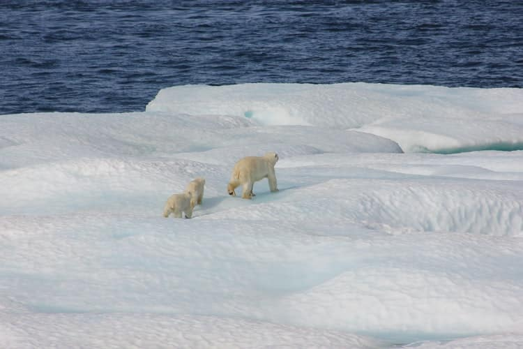 polar bears in the ice