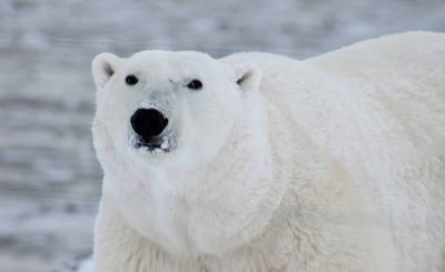 polar bear king of the arctic