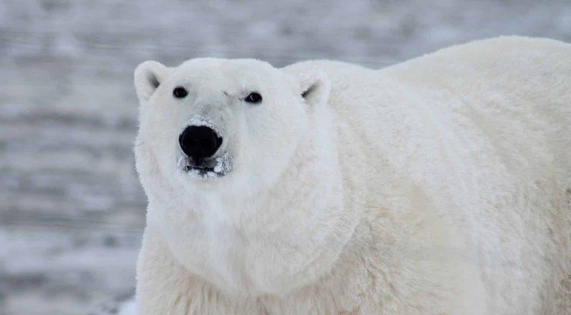 polar bear king of the arctic