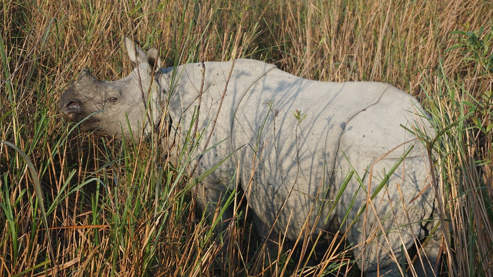 Great one horned rhino of indian big 5