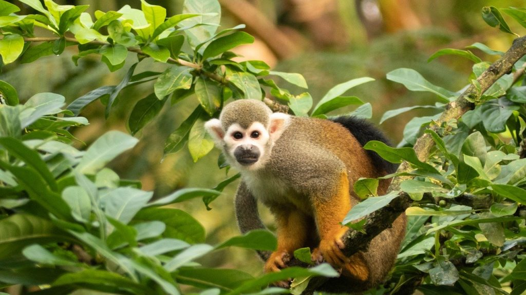 amazon squirrel monkey