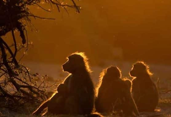 Baboons in Botswana at sunset
