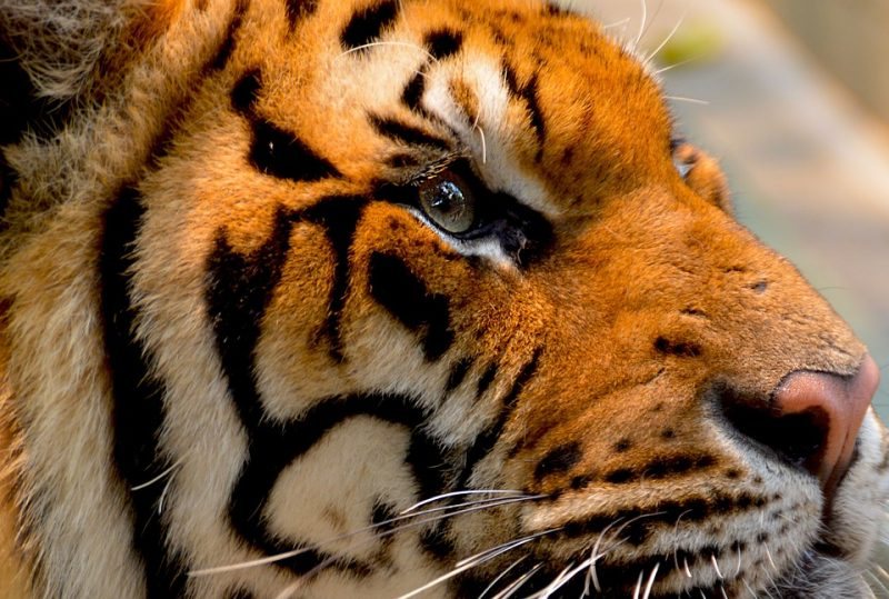 indian tiger eyes