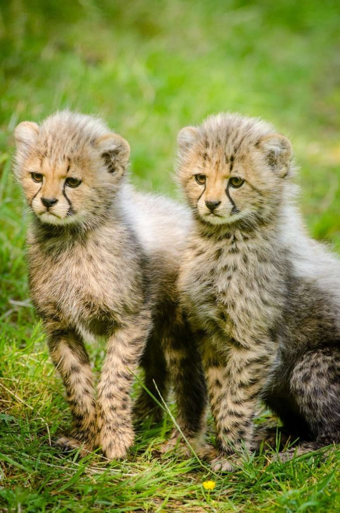 encounter wild cheetahs babys