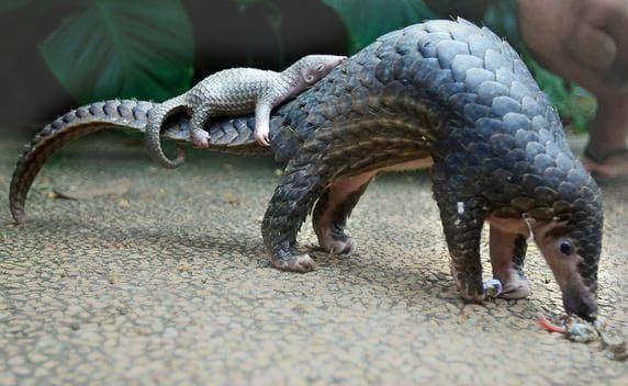 Mother and Baby Pangolin