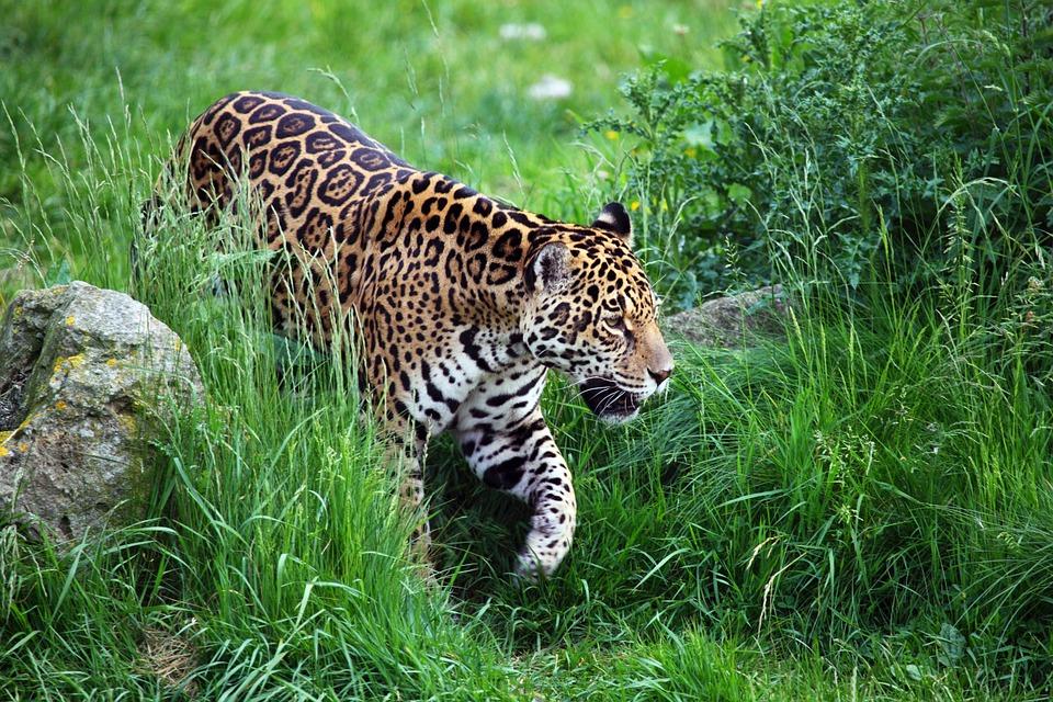 Jaguar in der Wildnis