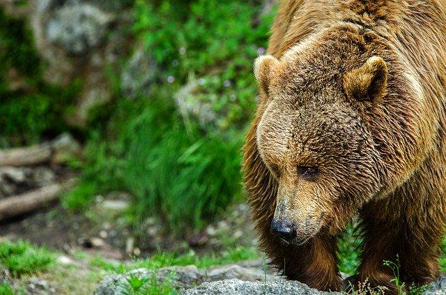 la vida silvestre en el oso pardo de grecia