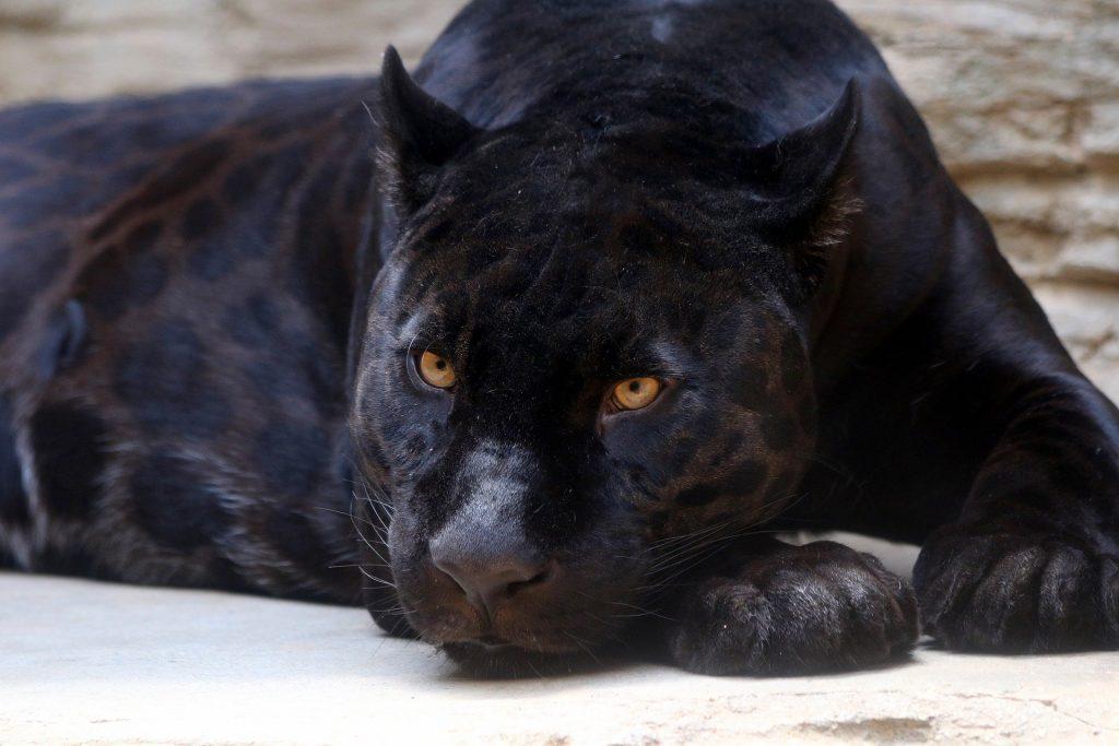 El jaguar melanístico; la pantera