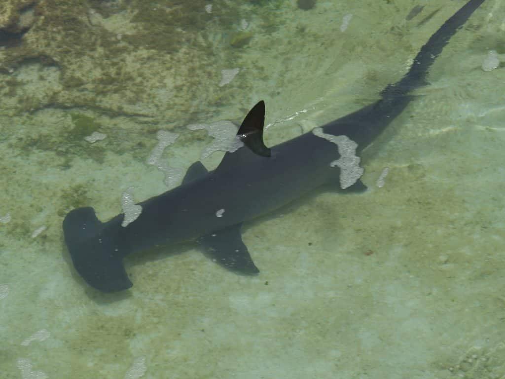 islas del coco tiburones martillo
