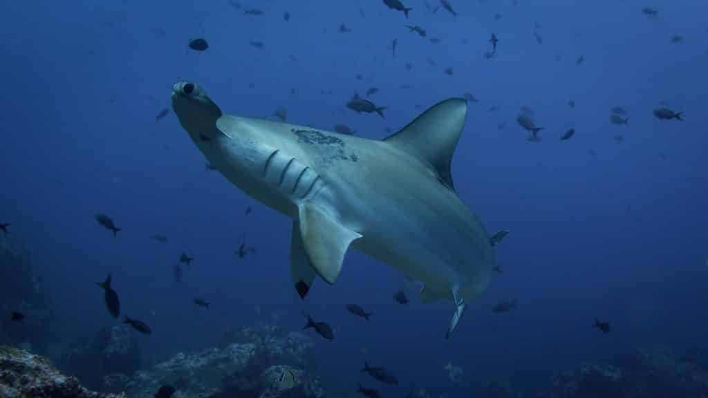 hammerhead shark during a dive