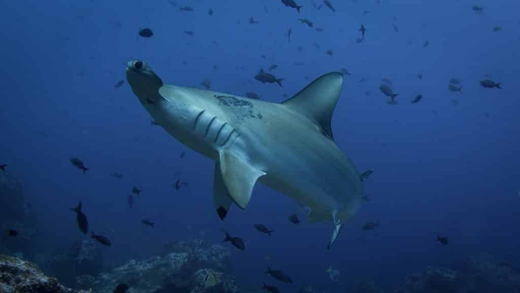 tiburón martillo durante una inmersión