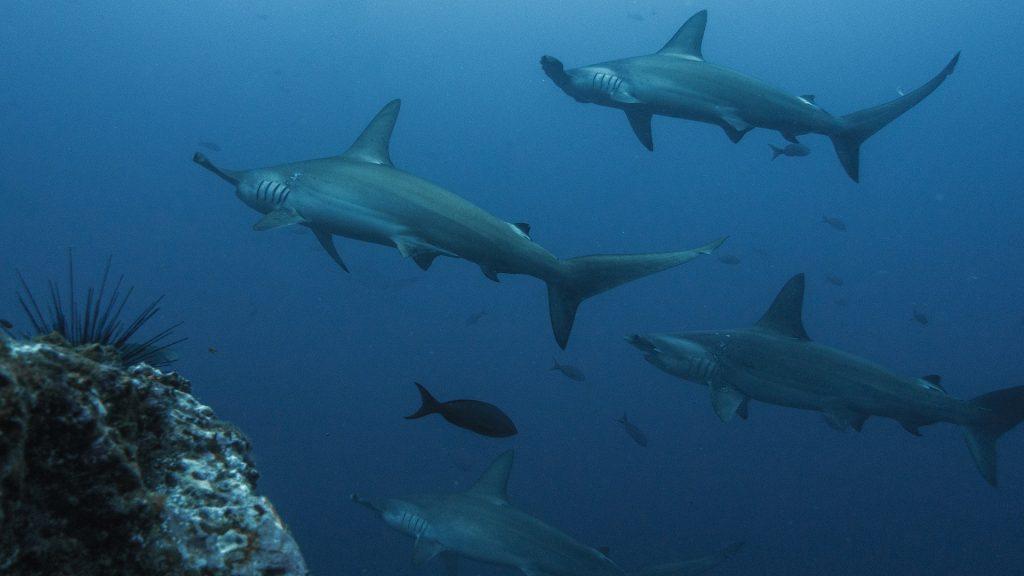 El tiburón martillo en los mejores lugares para bucear