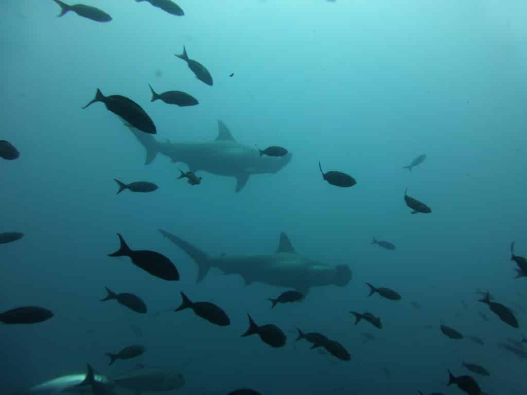 hammerhead shark malaysia