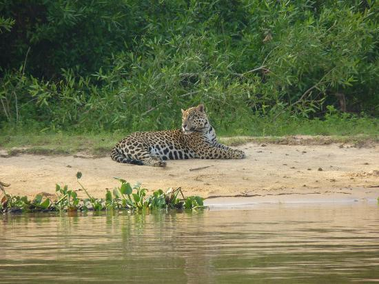 Big cats in the Amazon: Jaguar on river bank